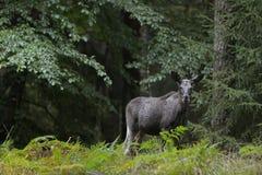 Älgen plattforde vid skogen Arkivfoto