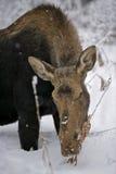 Älgko som bläddrar i vinter Arkivfoto