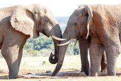 Älska den afrikanska Bush elefanten Arkivfoton