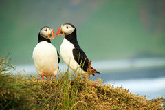 Älska lunnefågeln fotografering för bildbyråer