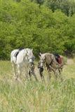 Älska par som går med hästar på den soliga dagen Två hästar går i fältet Vertikalt foto Royaltyfria Foton
