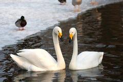 Älska svanar Royaltyfria Bilder