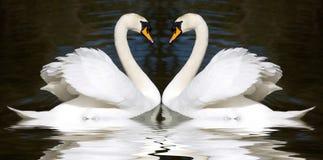 älska swans Arkivfoton