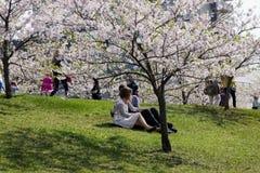 Älskar ett par sammanträden under japanen, blomstrar körsbäret Arkivfoton