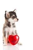 Älsklings- chihuahua för hund som isoleras på vit bakgrund Royaltyfri Bild