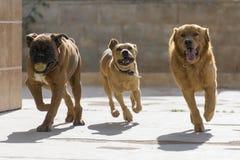 älsklings- djur, hundkapplöpning Royaltyfri Foto