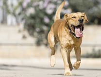 älsklings- djur, hundkapplöpning Arkivfoton