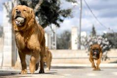 älsklings- djur, hundkapplöpning Fotografering för Bildbyråer