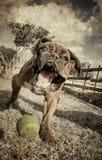 älsklings- djur, hundkapplöpning Royaltyfria Foton