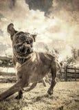 älsklings- djur, hundkapplöpning Arkivbilder