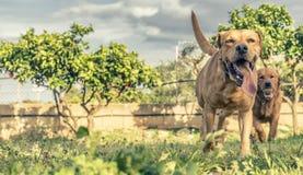 älsklings- djur, hundkapplöpning Arkivfoto