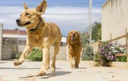 älsklings- djur, hundkapplöpning Royaltyfri Bild