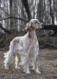 Älsklings- engelsk Setter för hund Royaltyfri Bild