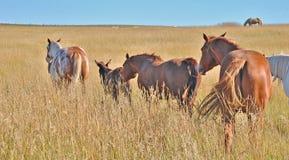Älsklings- hästar som reser i en grupp Royaltyfri Foto