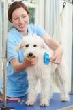 Älsklings- hund som professionellt ansas i salong Arkivbilder