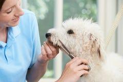 Älsklings- hund som professionellt ansas i salong Arkivfoton