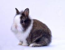 Älsklings- kanin Arkivbilder