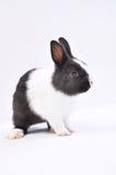 Älsklings- kanin Arkivbild