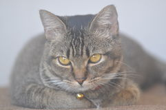 Älsklings- katter Arkivfoto