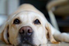 Älsklings- labrador som ligger ner se upp Royaltyfri Foto