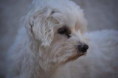 Älsklings- maltese för hund Arkivfoton