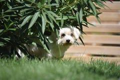 Älsklings- maltese för hund Arkivbild