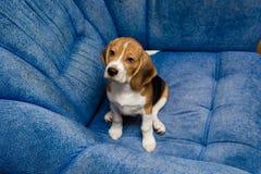 Älsklings- närbild för beagle på den blåa soffan inomhus royaltyfri fotografi