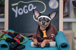 Älsklings- yoga Hundkondition Kondition och sund livsstil för husdjur Stående för hundinstruktör royaltyfri fotografi