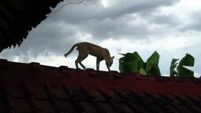 Älskvärd asiatisk röd katt som går på taket, indonesia bali ö lager videofilmer