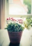 Älskvärd blommakruka på tabellen på fönstret och vardagsrumbakgrund Royaltyfri Foto