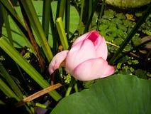 Älskvärd delikat rosa Lotus blomma fotografering för bildbyråer