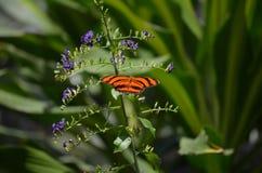 Älskvärd ek Tiger Butterfly In det löst Royaltyfri Bild