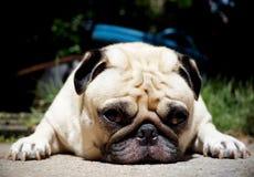 Älskvärd ensam vit mopshund Fotografering för Bildbyråer