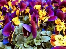 Älskvärd färgrik lila och gula vårpansies royaltyfri fotografi