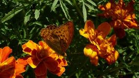 älskvärd fjäril Royaltyfri Fotografi