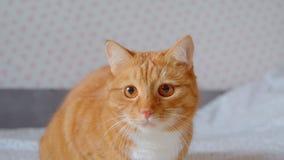 ?lskv?rd fluffig ljust r?dbrun katt som sitter p? s?ngklockor som fokuseras och hemma intresseras fast lager videofilmer