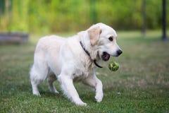 Älskvärd gullig golden retriever som spelar med en boll på grönt gräs royaltyfri fotografi