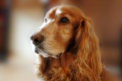 älskvärd hundfreddie Fotografering för Bildbyråer