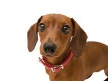 Älskvärd hundtax som ser den isolerade closeupen arkivbild