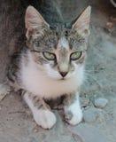 Älskvärd katt med turkosögon arkivfoton