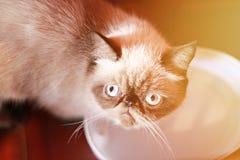 Älskvärd katt som ser sitta upp på träbakgrunden, mjuk fokus Arkivbild