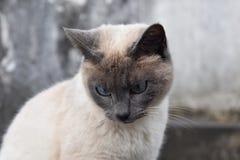 Älskvärd kräm och Gray Kitty Cat med blåa ögon fotografering för bildbyråer