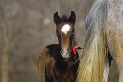 Älskvärd liten häst Arkivfoto