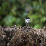 Älskvärd liten lagmesfågel Periparus Ater på träd i skogsmark l Royaltyfri Bild
