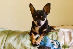 Älskvärd liten svart Chihuahuavalp royaltyfria bilder