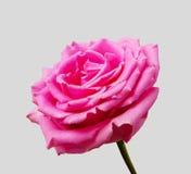 Älskvärd ljus rosa färgros med mjuka silkeslena kronblad Arkivbild