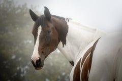 Älskvärd målarfärghäst som tillbaka ser till kameran i en dimmig höstmorgon royaltyfria foton