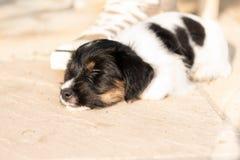 Älskvärd nyfödd valphund 7 5 gamla veckor sover bredvid en sko royaltyfri fotografi