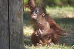 älskvärd orangutan Royaltyfri Fotografi