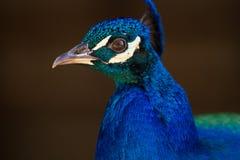 Älskvärd påfågel Arkivfoton
